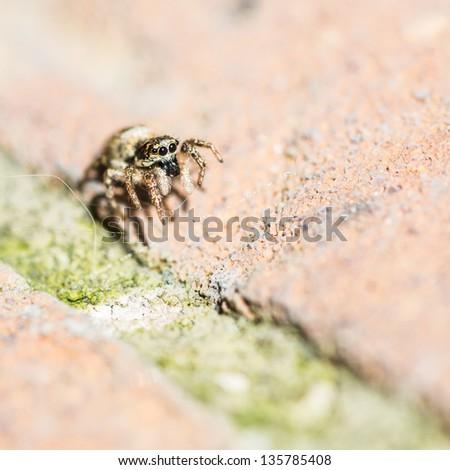 A macro shot of a zebra jumping spider. #135785408