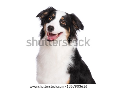 Close up portrait of cute young Australian Shepherd dog smiling, isolated on white background. Beautiful adult Aussie, looking away. #1357903616