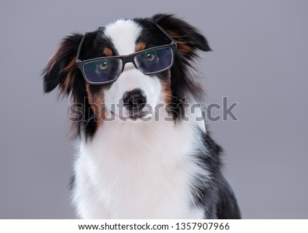 Close up portrait of cute young Australian Shepherd dog with eyeglasses on gray background. Beautiful adult Aussie, looking at camera. #1357907966