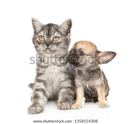 Cat and chihuahua puppy siting together. Isolated on white background #1358154308