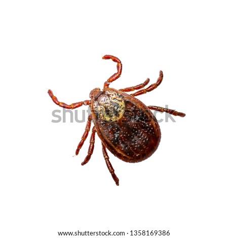 Encephalitis Virus or Lyme Borreliosis Disease or Monkey Fever Infectious Dermacentor Dog Tick Arachnid Parasite Insect Macro Isolated on White Background #1358169386