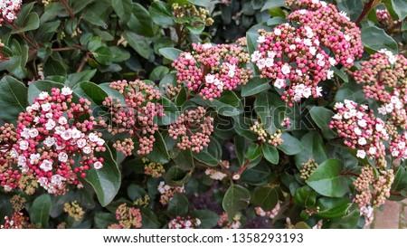 Laurustinus (Viburnum tinus), flowering #1358293193
