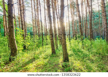 Scene of beautiful sunset at summer pine forest with trees and grass. Landscape. #1358323622