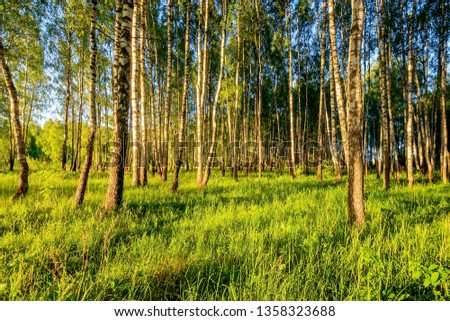 A scene of beautiful sunset in a birch forest on a sunny early summer or spring evening. Landscape. #1358323688