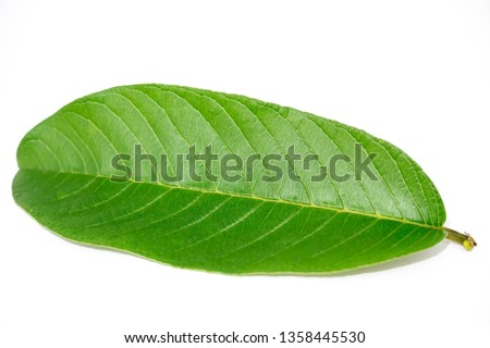 Guava Leave isolated white background, Guava leaves, Guava leaf #1358445530