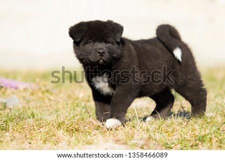 American Akita puppies on the grass #1358466089