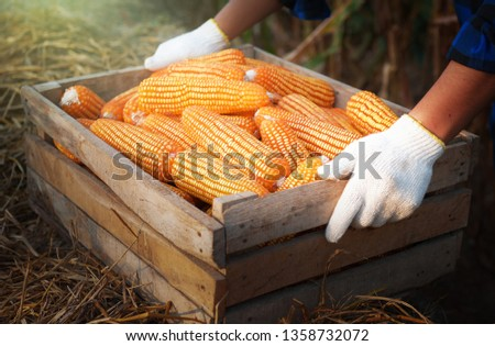 The hand holding the corn harvest in wooden crates,Harvested corn,Dry corn,Due corn,Corn harvest season,Universal food of people and animals  #1358732072