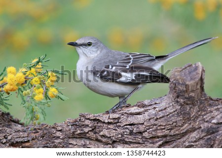 Mockingbird perched on a trunk mimosa background