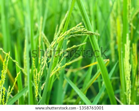 Close up of yellow green rice field #1358761001