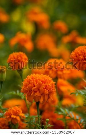 tagetes erecta - orage marigold flower #1358962907