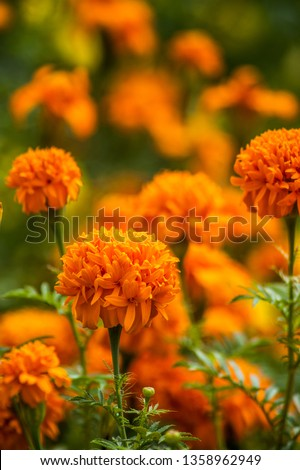 tagetes erecta - orage marigold flower #1358962949