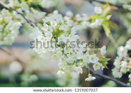 Cherry blossom in Nantes, France #1359007037