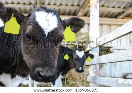 Young calves in a farm. Calf Care. Young black and white newborn calf sticking his head out of the stall. Head of a young calf with yellow tags in the ears. #1359066875