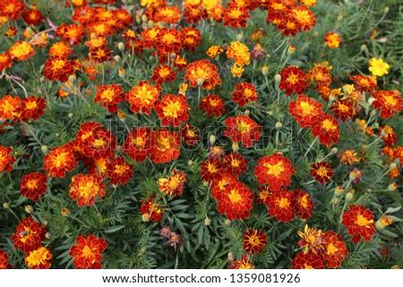 Marigold flowers background #1359081926
