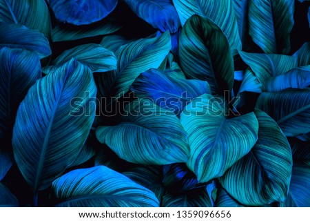 leaves of Spathiphyllum cannifolium, abstract green texture, nature blue tone background, tropical leaf #1359096656