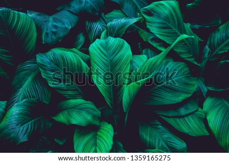 leaves of Spathiphyllum cannifolium, abstract green texture, nature background, tropical leaf #1359165275