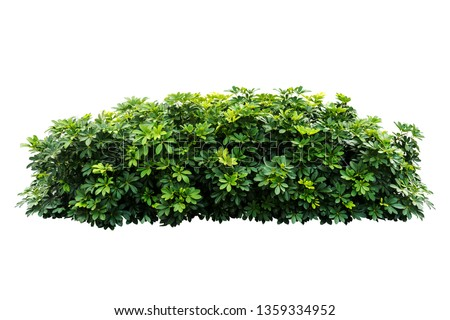 Tropical  nature plant isolated backdrop include clipping path on white background.closeup spring botanic decoration floral rain forest plant.Schefflera actinophylla #1359334952