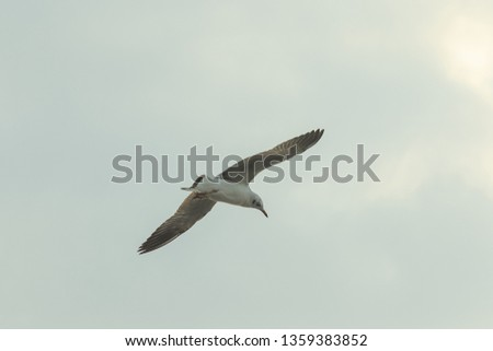 Brown-headed gull is flying on the sky #1359383852