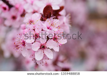 Plum branch with pink flowers on a blurred flower background. Macro. Shallow depth of field, selective focus. Empty seat on the right. #1359488858