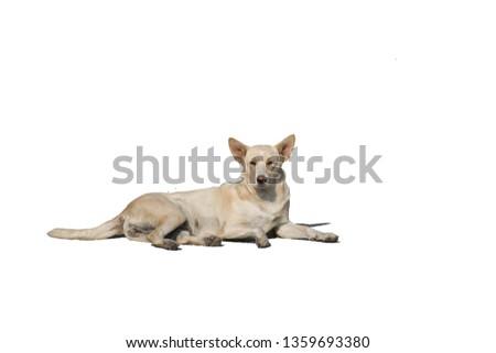 stray dog Isolated white background