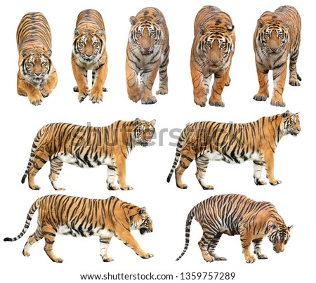 bengal tiger (Panthera tigris) isolated on white background Royalty-Free Stock Photo #1359757289