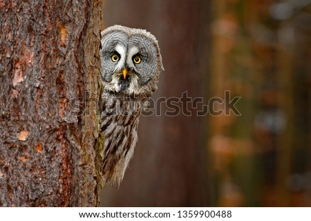 Portrait of Great grey owl, Strix nebulosa, hidden behind tree trunk in the winter forest, with yellow eyes. Wildlife scene from wild nature. Funny image with owl. Wildlife in Finaland. Royalty-Free Stock Photo #1359900488