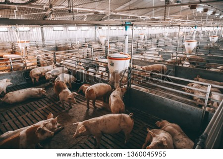 Lots of pigs in animal shed eating, standing and lying. Meat industry concept. #1360045955