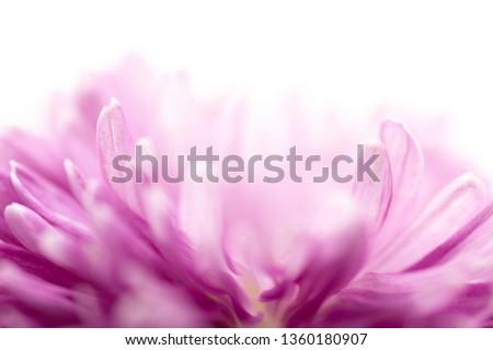 Colors of chrysanthemum #1360180907