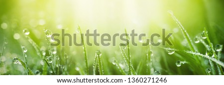 Juicy lush green grass on meadow with drops of water dew in morning light in spring summer outdoors close-up macro, panorama. Beautiful artistic image of purity and freshness of nature, copy space. #1360271246