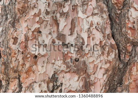 Pine bark texture in nature #1360488896