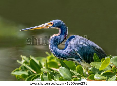 A tricolored heron, formerly know as the Louisiana heron, perches on a branch over the water waiting on its next meal to swim below. #1360666238