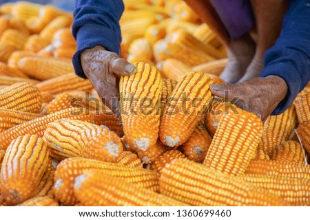 Corn or Maize for processing into fodder. Harvest maize. Corn grain. Natural food. Maize on the farmers farm after harvest. Farmer holding corn ear on the cob. Ripe maize ready for harvest. #1360699460