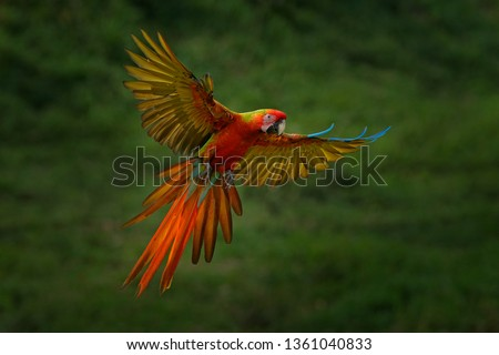 Macaw parrot flying in dark green vegetation. Rare form Ara macao x Ara ambigua, in tropical forest, Costa Rica. Wildlife scene from tropical nature. Bird in fly, jungle. Red hybrid parrot in forest.  #1361040833