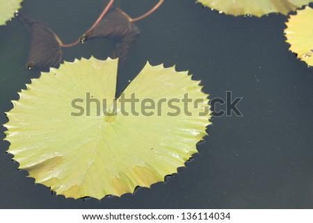 closedup green lotus leaves #136114034
