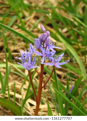 flowers of Siberian squill, Scilla siberica, #1361277707