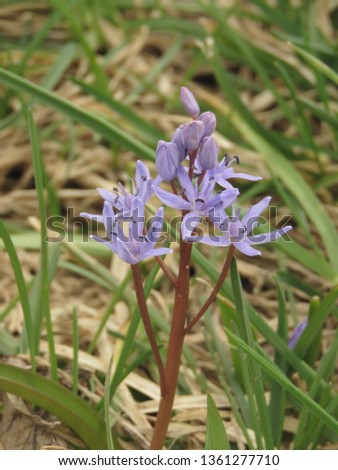 flowers of Siberian squill, Scilla siberica, #1361277710