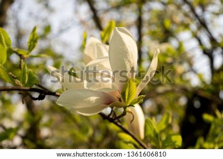 Magnolia in bloom, spring, southern Slovenia, public park #1361606810