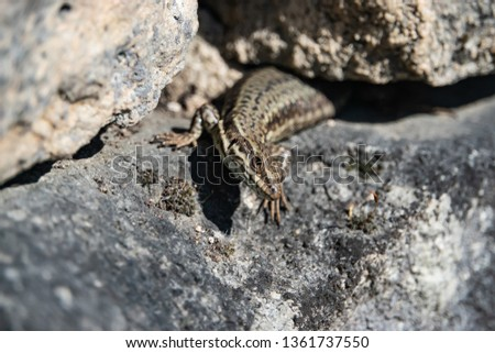 Common Wall Lizard on Rock in Springtime #1361737550