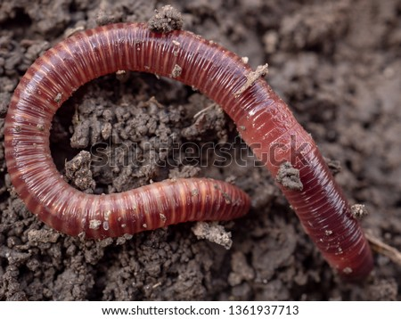 Earthworms in black soil of greenhouse. Macro Brandling, panfish, trout, tiger, red wiggler, Eisenia fetida. Garden compost and worms recycling plant waste into rich soil improver and fertilizer #1361937713