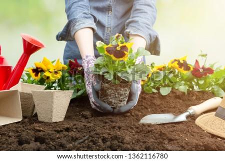 Gardener woman planting flower in the garden. Planting spring pansy flower in garden. Gardening concept #1362116780