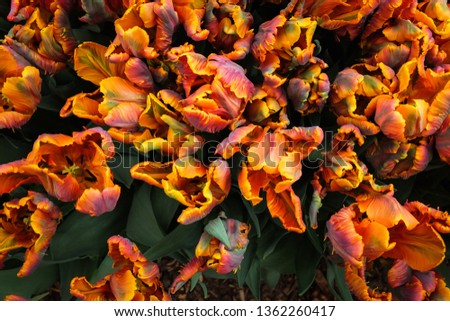 Amsterdam in Tulips #1362260417
