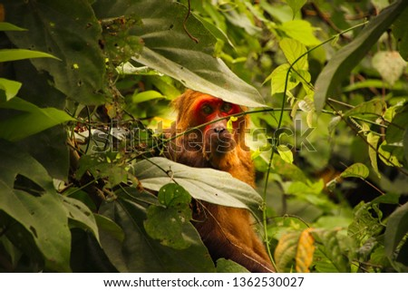 Red faced long tailed macaque hiding among the foliage in jungles of Phoung na, Vietnam #1362530027