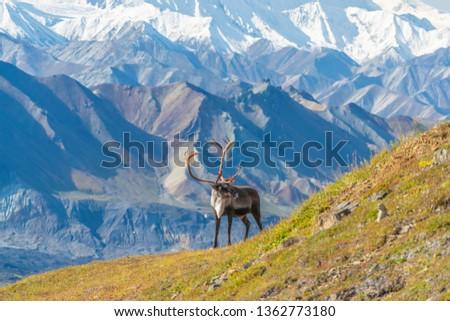 Caribou deer in front of mount Denali, Denali NP, Alaska Royalty-Free Stock Photo #1362773180