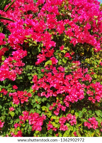 Fuengfah is a semi-perennial shrub type. Size from small shrubs to large shrubs There are thorns along the trunk, single leaves break out, alternating with branches or indentations. With a little bit  #1362902972