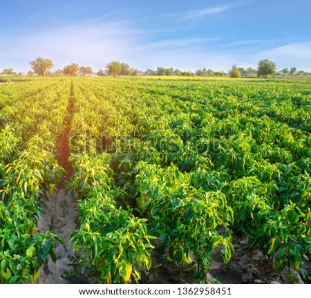 plantations of pepper grow in the field. vegetable rows. farming, agriculture. Landscape with agricultural land. crops #1362958451