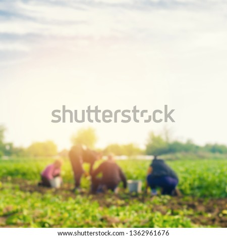 workers work on the field, harvesting, farming, agriculture, agro-industry in third world countries, labor migrants, Family farmers. Seacional job. peasants dig up potatoes. blurred background #1362961676