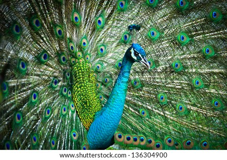 Portrait of Peacock with Feathers Out #136304900