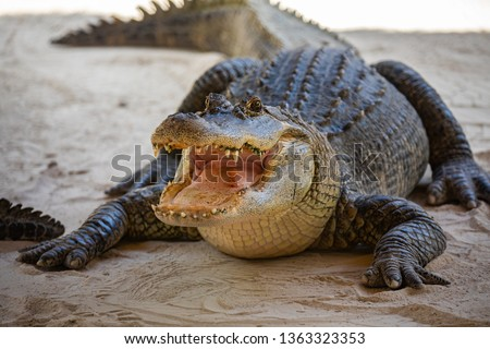 American Alligator head in Florida swamps. Everglades National Park. Florida. USA.  #1363323353