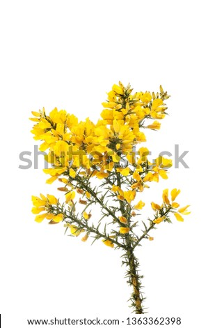 Gorse flowers and prickly foliage isolated against white #1363362398
