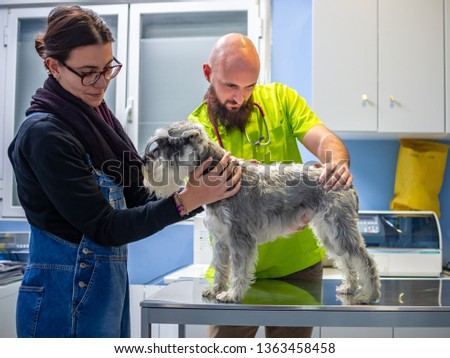 Veterinary consultation in a veterinary clinic, veterinarian inspecting a schnauzer with the owner #1363458458